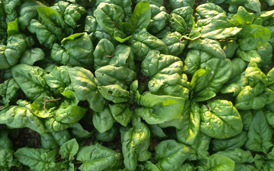 E' tempo di spinaci!